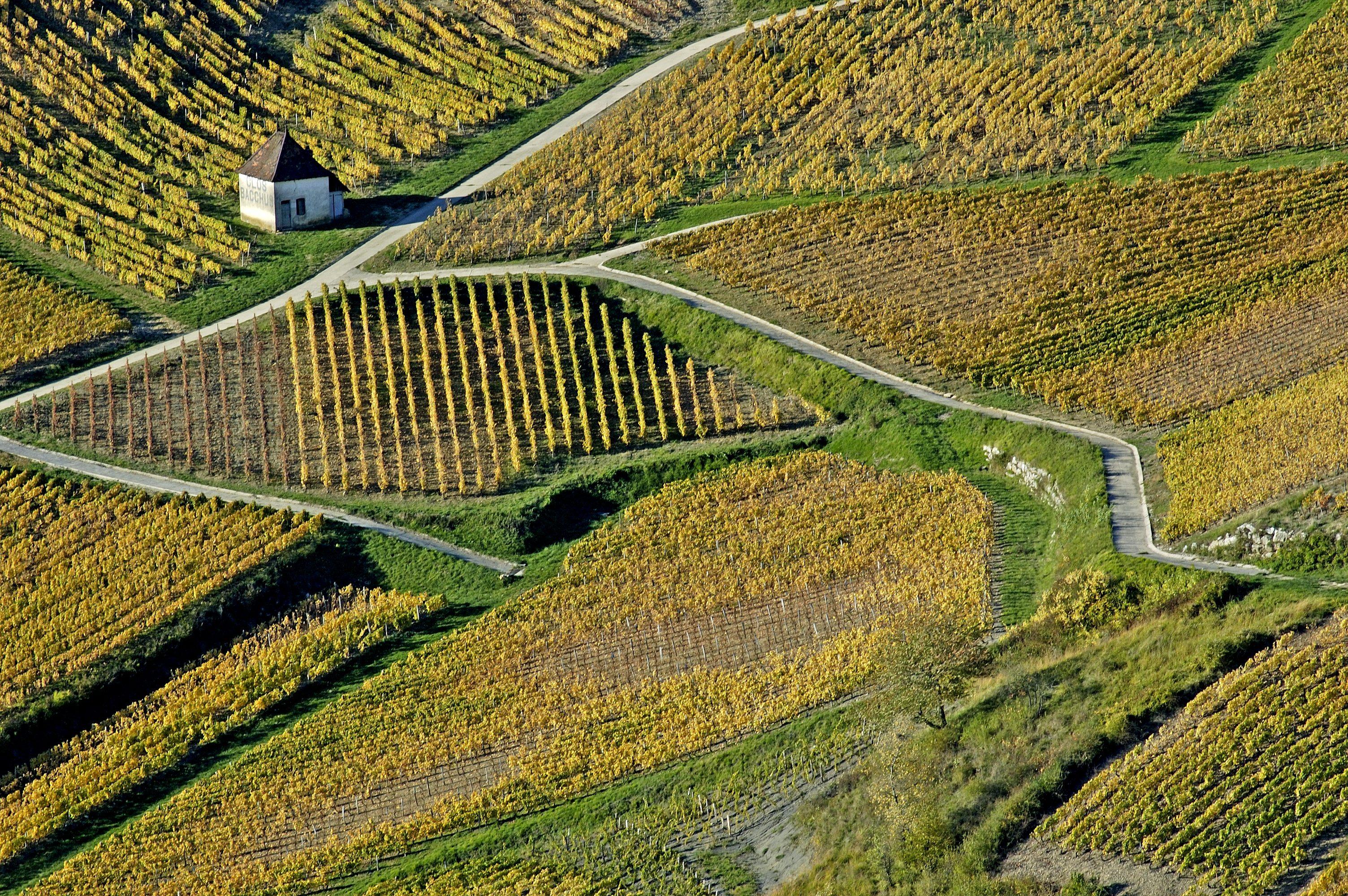 Chateau-Chalon F 39  le vignoble  automne