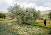 olivejoy